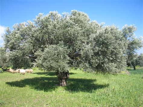 olive tree olive facts
