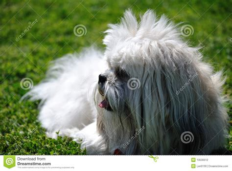 how to my shih tzu puppy to sit shih tzu sitting on grass stock photography image 13530512