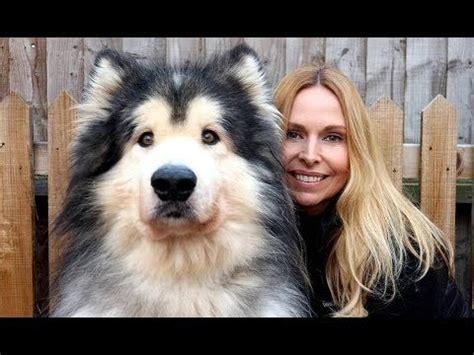 GIANT ALASKAN MALAMUTE DOGS - YouTube