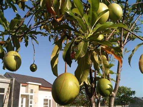 Jual Bibit Pohon Buah Di Bandung juni 2014 jual bibit pohon tanaman