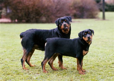 rottweiler names mini rottweiler names dogs in our photo
