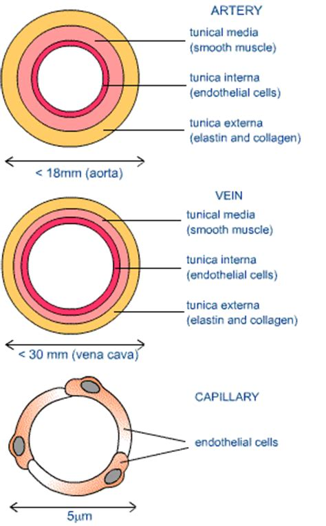 veins and arteries diagram arteries and veins diagram to label