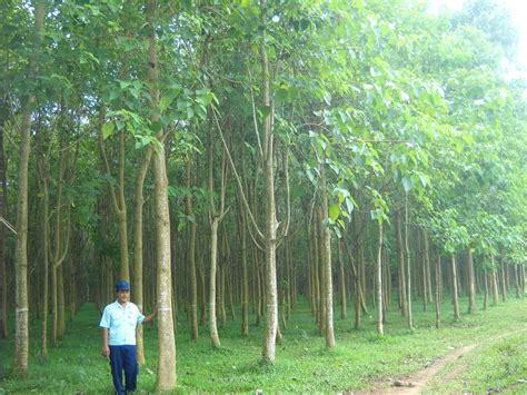 Bibit Pohon Jati Putih tanaman jati putih yang semakin diminati