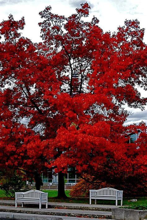 scarlet oak fast growing oak great scarlet red fall color