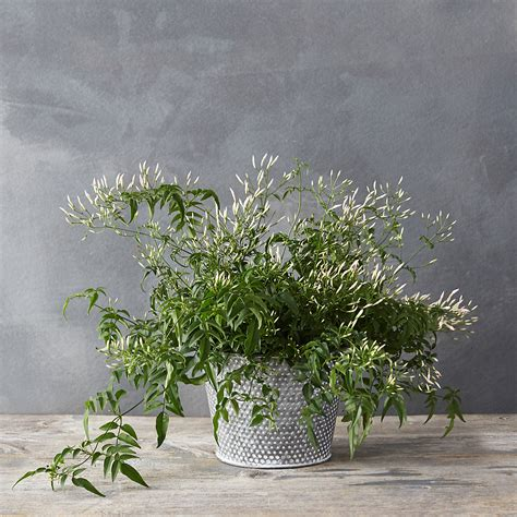 Gardenia House Plant Cascading Dotted Pot Terrain