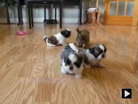 shih tzu 5 weeks adorable shih tzu pups 5 weeks http www yourpetclip view 3491 adorable