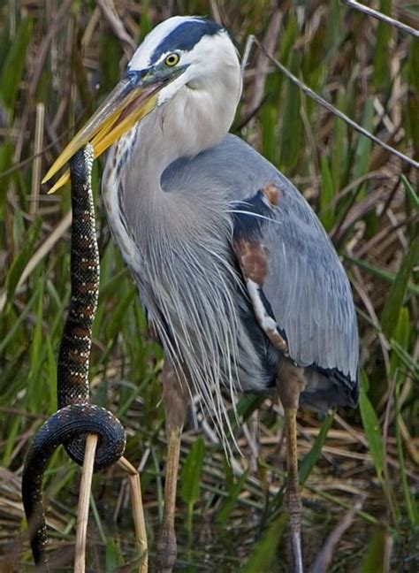 167 best images about bird and snake ophiophagy