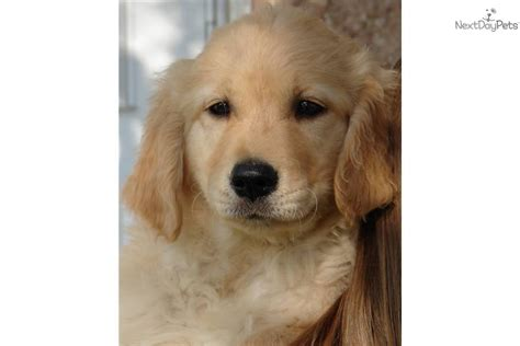 purebred golden retriever puppy golden retriever puppy for sale near salt lake city utah e57f9771 cd01