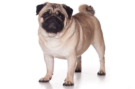 are pugs apartment dogs top 10 best breeds for apartments petguide