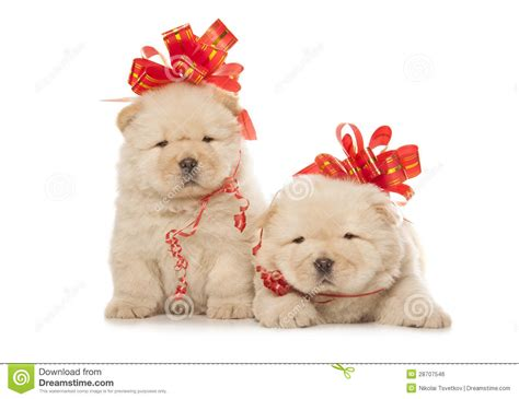 puppies with bows chow chow puppies with big bows royalty free stock image image 28707546