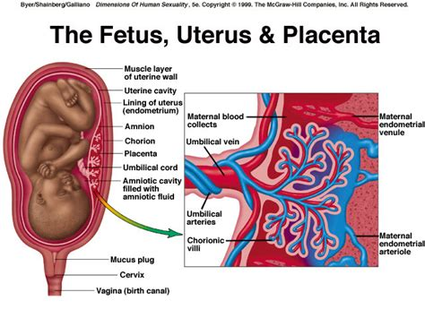 uterus during pregnancy diagram grow an army of superhumans using affordable artificial