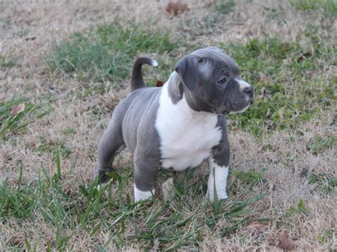 blooded wolf puppies for sale blooded doberman puppies breeds picture