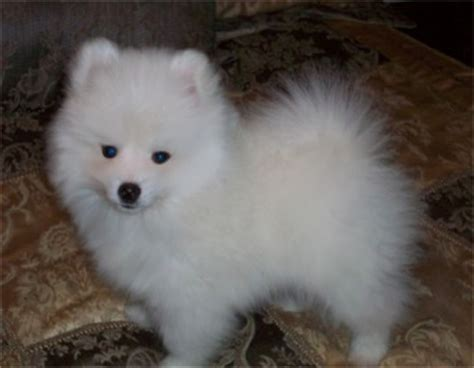 miniature american eskimo puppies american eskimo dogs and puppies for sale