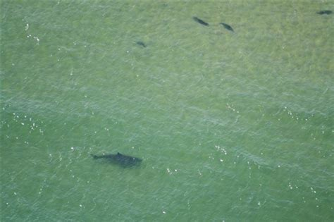 chatham cape cod sharks valley windsurfing great white shark sightings