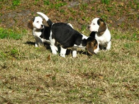 bulldog puppies for sale in va shih tzu puppies for sale in hton virginia west va norfolk breeds picture