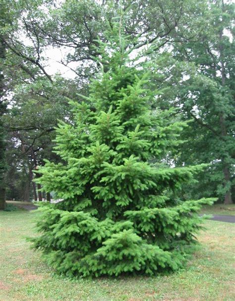 choosing the perfect christmas tree furnish burnish