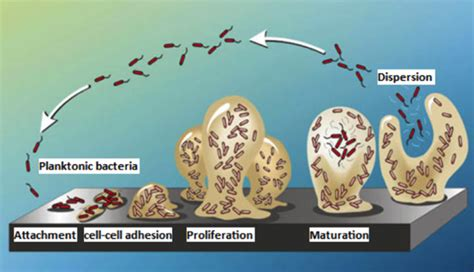 pattern formation in pseudomonas aeruginosa biofilms vita aid professional nutrition product