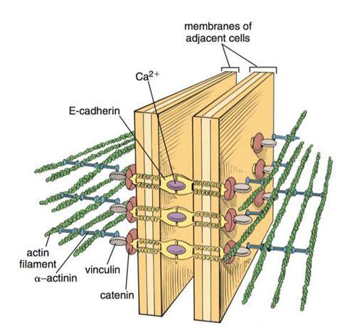 pin  glenn kageyama  cells cell biology biology