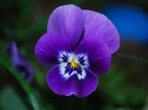 foto fiore viola nomi e immagini di fiori di primavera 30 foto