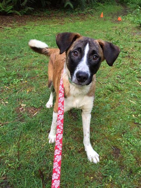 kitsap humane society dogs kitsap humane society what is a canaan
