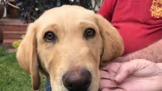 abc puppy meet the retirees who raised 18 guide puppies abc news australian