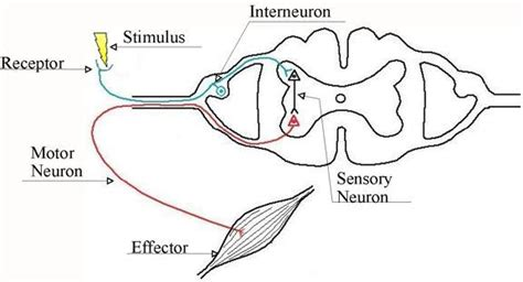 diagram of the reflex arc homework help genius