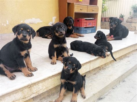 rottweiler performance uk rottweiler puppies doovi