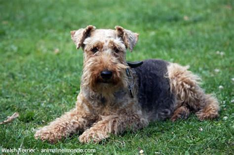 Terrier Shed by Other Small Non Shedding Small Breeds Are
