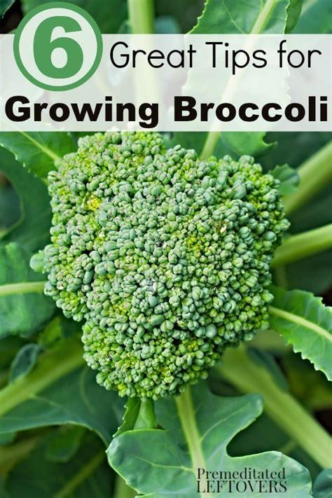 Gardening Broccoli 6 Great Tips For Growing Broccoli
