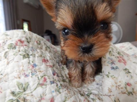 pocket yorkie teacup pocket yorkies clasf