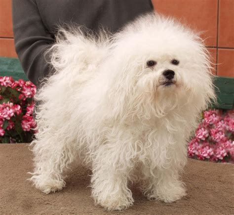 bolognese breed bichon bolognese breed breeds puppies