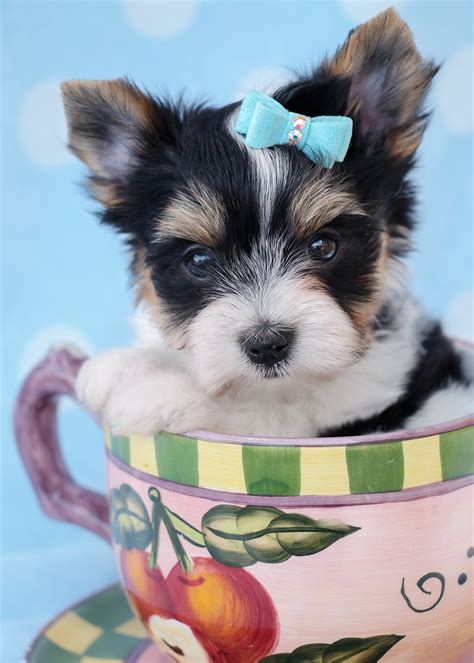 biewer yorkie florida biewer terrier puppies for sale at teacups teacups puppies boutique