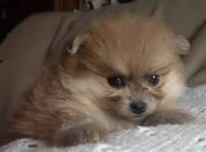 puppies for sale in ontario pomeranian puppies for sale in dunnville ontario ads