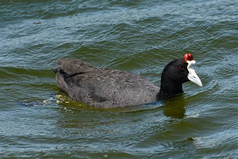 Knobbed Coot by Bird Club