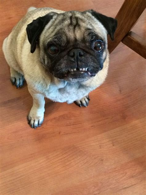 i my pug so much 180 best images about pugsss on humor beds and pug