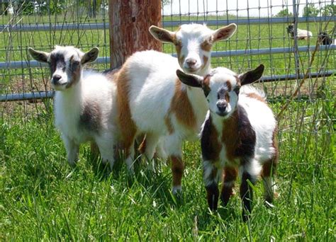can i goats in my backyard best goat breeds for your homesteading needs total survival