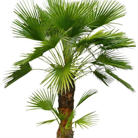 palme nane da giardino chamaerops humilis palma nana o palma di san pietro