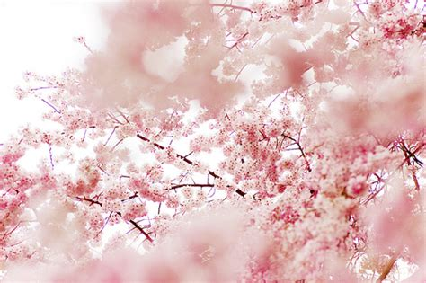 lovely like blossom cute gt 画像 桜開花 おしゃれすぎる桜 画像 naver まとめ