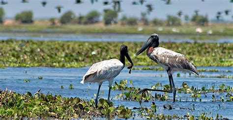 airboat jabiru the jabiru in belize tropic air belize