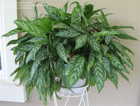 chinese evergreens chinese evergreen indoor plant quotes
