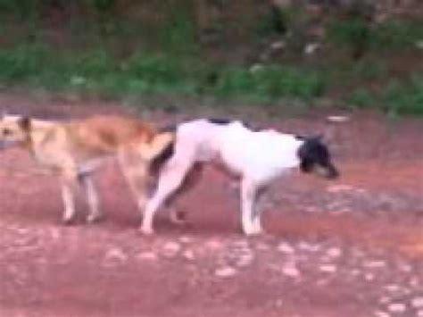 anjing kawin dogs mating anjing kawin