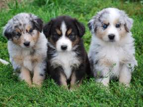 Miniature australian shepherd puppies email this blogthis share to