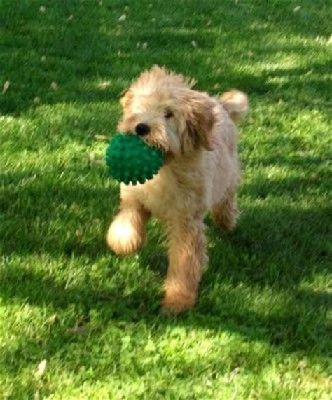 goldendoodle puppy care tips puppys tips and goldendoodles on