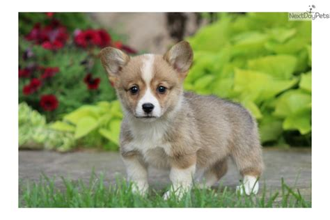 corgi puppies near me corgi pembroke puppy for sale near lancaster pennsylvania e3bef638 4731