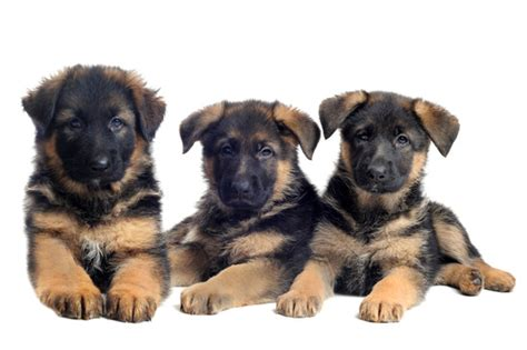 german shepherd puppy names german shepherds names naming dogs