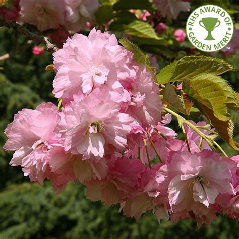 buy pink tree prunus pink perfection buy flowering cherry blossom trees