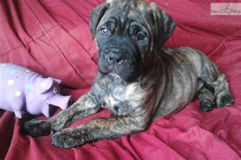brindle boxer puppies for sale near me bullmastiff puppy for sale near maine 1b9c1898 0501