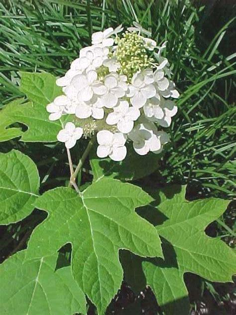 Hydrangeas for St. Louis Oak Leaf Hydrangeas In Winter