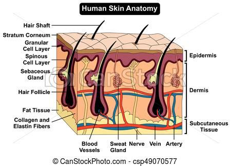 human skin anatomy royalty free vector image vectorstock human skin anatomy diagram infographic chart figure with all parts hair sweat gland artery