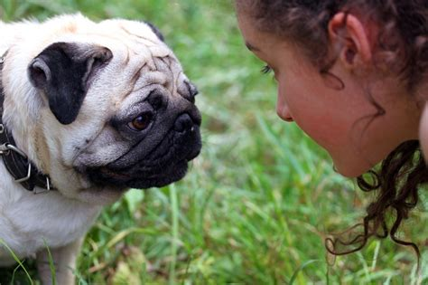 pug aggression there s a difference between a reactive vs aggressive here s how to tell the